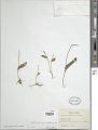 View Ophioglossum petiolatum Hook. digital asset number 1