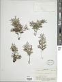 View Vandenboschia maxima (Blume) Copel. digital asset number 1