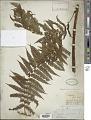 View Cyathea microdonta (Desv.) Domin digital asset number 1