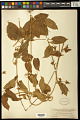 View Gonolobus erianthus Decne. digital asset number 1