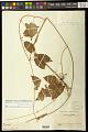 View Gonolobus denticulatus (Vahl) W.D. Stevens digital asset number 1
