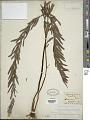 View Pityrogramma trifoliata (L.) R.M. Tryon digital asset number 1
