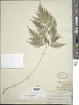 View Pteris leptophylla Sw. digital asset number 1