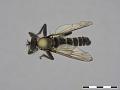 View Lasiopogon cinctus (Fabricius, 1781) digital asset number 3