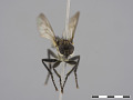 View Lasiopogon cinctus (Fabricius, 1781) digital asset number 2