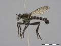 View Lasiopogon cinctus (Fabricius, 1781) digital asset number 1