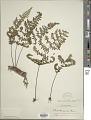 View Myriopteris aemula (Maxon) Grusz & Windham digital asset number 1