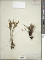 View Myriopteris gracillima (D.C. Eaton) J. Sm. digital asset number 1