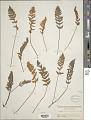 View Myriopteris lindheimeri (Hook.) J. Sm. digital asset number 1
