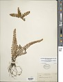 View Astrolepis sinuata (Lag. ex Sw.) D.M. Benham & Windham digital asset number 1