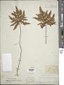 View Dryopteris concolor var. typica (Langsd. & Fisch.) Kuhn digital asset number 1