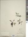 View Cheilanthes gracilis (Fée) Mett. ex Riehl digital asset number 1