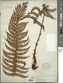View Polystichum vestitum (Sw.) C. Presl digital asset number 1