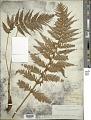 View Polystichum richardii J. Sm. digital asset number 1