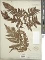 View Ctenitis subglandulosa (Hance) Ching digital asset number 1