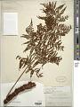 View Polybotrya speciosa Schott digital asset number 1