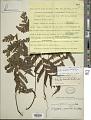 View Tectaria dissecta (G. Forst.) Lellinger digital asset number 1