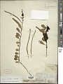 View Pyrrosia lanceolata (L.) Farw. digital asset number 1