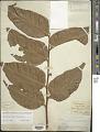 View Aglaomorpha speciosa (Blume) M.C. Roos digital asset number 1