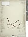 View Grammitis reinwardtii Blume digital asset number 1