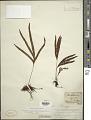 View Pleopeltis pleopeltifolia (Raddi) Alston digital asset number 1