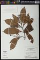 View Hebepetalum humiriifolium (Planch.) Benth. digital asset number 0