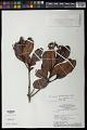 View Humiria balsamifera Aubl. var. balsamifera digital asset number 0