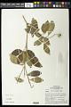View Galipea trifoliata digital asset number 0
