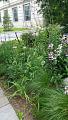 View Echinacea pallida (Nutt.) Nutt. digital asset number 0