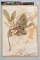 View Psychotria racemosa Rich. digital asset number 2