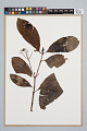 View Psychotria anceps Kunth digital asset number 0