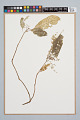 View Psychotria racemosa Rich. digital asset number 0