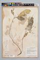 View Psychotria racemosa Rich. digital asset number 1