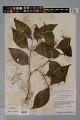 View Psychotria gracilenta Müll. Arg. digital asset number 1