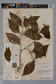 View Psychotria gracilenta Müll. Arg. digital asset number 3