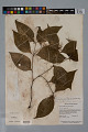 View Psychotria gracilenta Müll. Arg. digital asset number 4