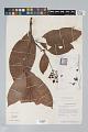 View Psychotria irwinii Steyerm. digital asset number 2