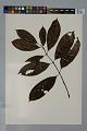 View Psychotria erecta (Aubl.) Standl. & Steyerm. digital asset number 0