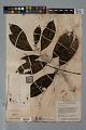View Psychotria erecta (Aubl.) Standl. & Steyerm. digital asset number 2