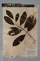 View Psychotria erecta (Aubl.) Standl. & Steyerm. digital asset number 3