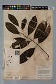 View Psychotria erecta (Aubl.) Standl. & Steyerm. digital asset number 4