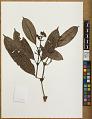 View Psychotria tepuiensis (Steyerm.) Steyerm. digital asset number 0