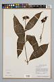 View Psychotria poeppigiana Müll. Arg. digital asset number 0