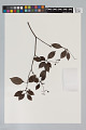 View Psychotria cupularis (Müll. Arg.) Standl. digital asset number 0