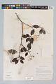 View Psychotria cupularis (Müll. Arg.) Standl. digital asset number 2