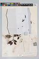 View Psychotria cupularis (Müll. Arg.) Standl. digital asset number 3