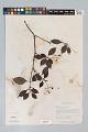 View Psychotria cupularis (Müll. Arg.) Standl. digital asset number 5