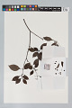 View Psychotria cupularis (Müll. Arg.) Standl. digital asset number 9