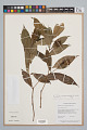 View Psychotria bracteocardia (DC.) Müll. Arg. digital asset number 0