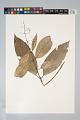 View Psychotria bostrychothyrsus Sandwith digital asset number 0